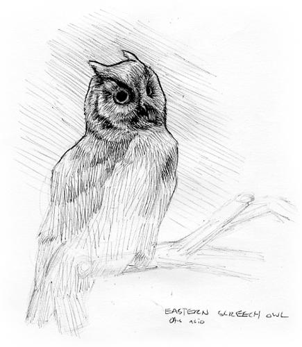 081108__screech_owl