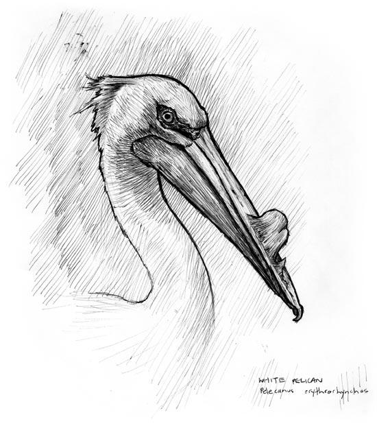 pelican_090106